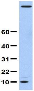 Western blot - Anti-FAU antibody (ab81442)