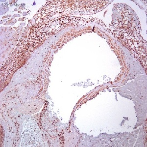 Immunohistochemistry (Formalin/PFA-fixed paraffin-embedded sections) - Anti-Fibromodulin antibody (ab81443)