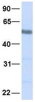 Western blot - Anti-SRP1 antibody (ab81448)