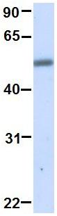 Western blot - Anti-TRIM21 antibody (ab81640)