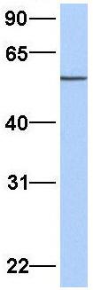Western blot - Anti-IFRD1 antibody (ab81646)