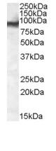 Western blot - Anti-EWSR1 antibody (ab81971)
