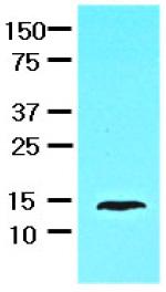 Western blot - Anti-liver FABP antibody [2G4] (ab82157)