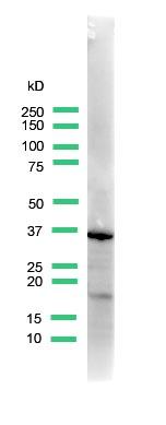 Western blot - Anti-Uroplakin III antibody, prediluted (ab82172)