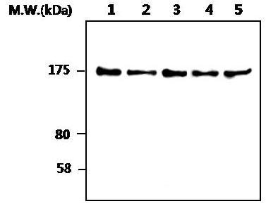 Western blot - SOS1 antibody [AF3F11] (ab82429)