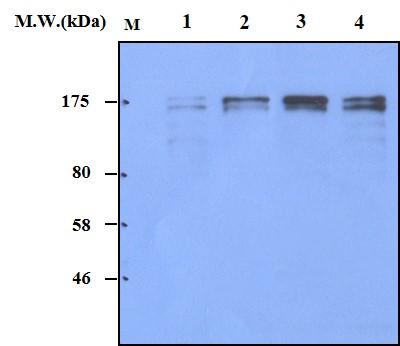 Western blot - Anti-SOS1 antibody [AF3F11] (ab82429)