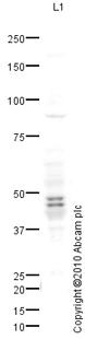 Western blot - Anti-PAX6 antibody (ab82510)