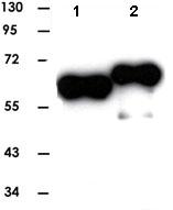 Western blot - Anti-MAPKAPK2/3 antibody (ab82543)
