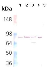 Western blot - Anti-Hsp90 beta antibody [K3701] (ab82584)