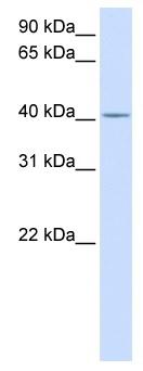 Western blot - Anti-C2orf18 antibody (ab82643)
