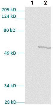 Western blot - Anti-MafB antibody (ab82837)