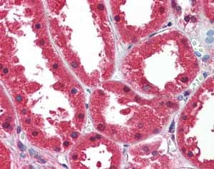 Immunohistochemistry (Formalin/PFA-fixed paraffin-embedded sections) - Anti-DDAH1 antibody (ab82908)