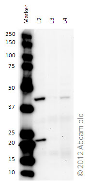 Western blot - Anti-SHOX2 antibody (ab82918)