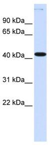 Western blot - Anti-MSY2/YBOX2 antibody (ab82963)