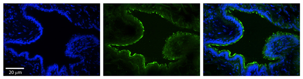 Immunohistochemistry (Formalin/PFA-fixed paraffin-embedded sections) - Anti-MTX2 antibody (ab83015)