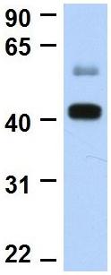 Western blot - Anti-FOXI1 antibody (ab83084)
