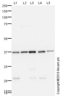 Western blot - Anti-CTRP1 antibody (ab83177)
