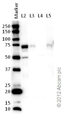 Western blot - Anti-KHSRP antibody (ab83291)