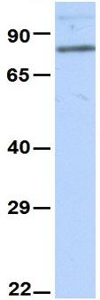 Western blot - Anti-Cyclin T1 antibody (ab83314)