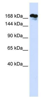 Western blot - Anti-RSF1 antibody (ab83322)