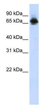 Western blot - Anti-FUBP1 antibody (ab83453)