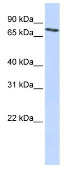 Western blot - Anti-SLCO2B1 antibody (ab83532)