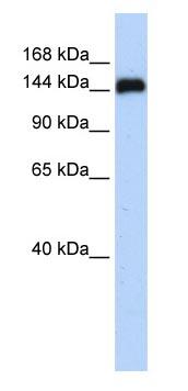Western blot - Anti-GSE1 antibody (ab83553)