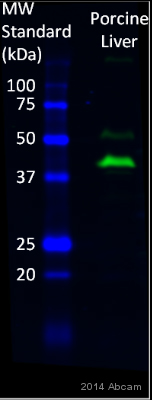 Western blot - Anti-glucose-6-phosphatase, catalytic subunit antibody (ab83690)