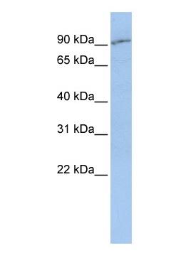 Western blot - Anti-SLC15A2 antibody (ab83771)