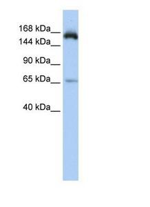 Western blot - Anti-KIAA0460 antibody (ab83823)