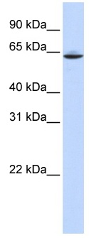 Western blot - Anti-SLC33A1 antibody (ab83868)