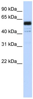 Western blot - Anti-PTBP1 antibody (ab83897)