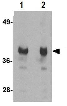 Western blot - Anti-GAPDH antibody (ab83957)