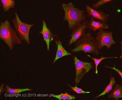 Immunocytochemistry/ Immunofluorescence - Anti-GAPDH antibody (ab83957)