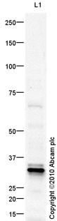 Western blot - Anti-SFRP1 antibody (ab84003)