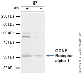 Immunoprecipitation - Anti-GDNF Receptor alpha 1 antibody (ab84106)