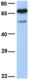 Western blot - Anti-FBXO7 antibody (ab84129)