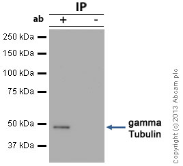 Immunoprecipitation - Anti-gamma Tubulin antibody - Centrosome Marker (ab84355)