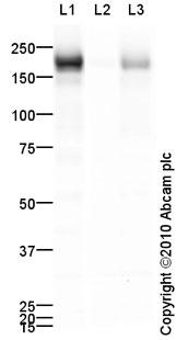 Western blot - Anti-EGFR (phospho Y1173) antibody (ab84470)