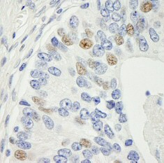 Immunohistochemistry (Formalin/PFA-fixed paraffin-embedded sections) - Anti-MAD1 antibody (ab84490)