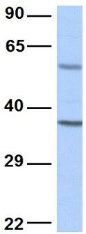 Western blot - Anti-MRG15 antibody (ab84520)
