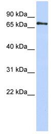 Western blot - Anti-PHACTR1 antibody (ab84646)