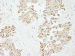 Immunohistochemistry (Formalin/PFA-fixed paraffin-embedded sections) - Anti-DNA Polymerase lambda antibody (ab84750)