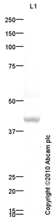 Western blot - Anti-Bone Sialoprotein antibody (ab84787)