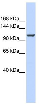Western blot - Anti-Calcium Pump PMCA4 ATPase antibody (ab84895)