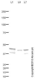 Western blot - Anti-Cytokeratin 19 antibody (ab85351)