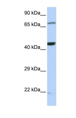 Western blot - Anti-TUFM antibody (ab85438)
