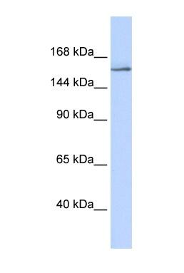 Western blot - Anti-SRC3 antibody (ab85452)