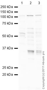 Western blot - Anti-Rb antibody (ab85607)
