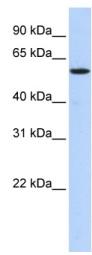 Western blot - Anti-NUFIP1 antibody (ab85673)